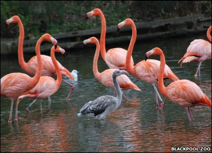 Baby flamingo with the rest of the flock