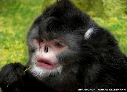 New snub-nosed monkey found in Myanmar - digital reconstruction