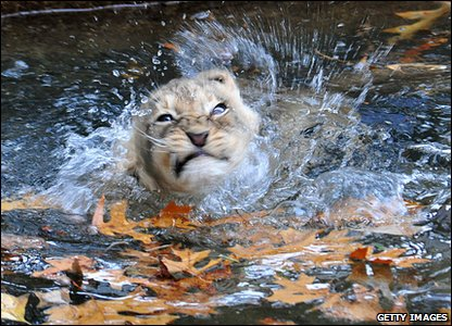Lion cub learning to swim