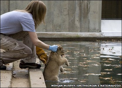Lion cub being placed into the water
