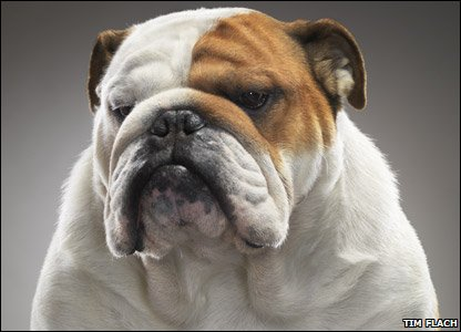 Bulldog Harry looks a bit grumpy