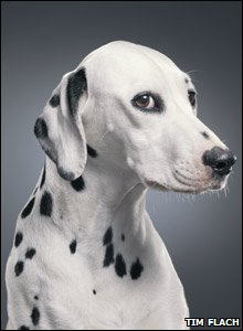 Dalmation strikes a pose for the camera