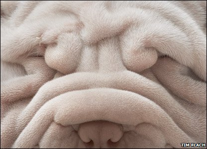 This Shar-pei looks a bit sleepy