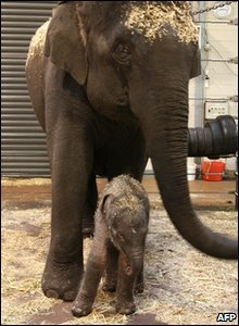 Female baby elephant stands with her mother at Taronga zoo in Australia.
