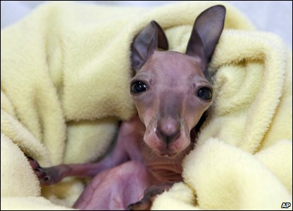 Baby red kangaroo