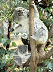 Koala bears on climbing a tree