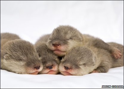 Asian small-clawed otter babies at Sea world Orlando in America.
