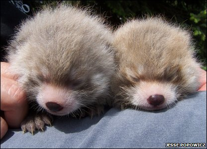 Tai and Pip, red panda cubs from Edmonton Valley Zoo in Canada.