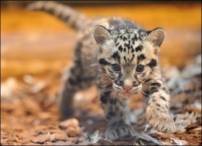 Clouded leopard cub - National Museum of Natural History in France.
