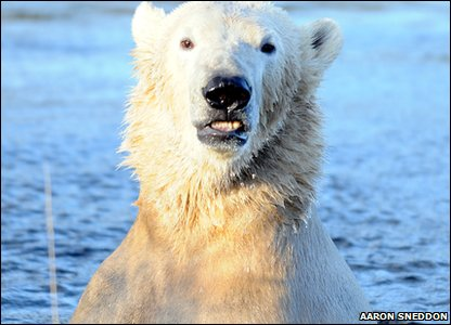 Polar bear Walker in the water, settling into new home in Highland Wildlife Park in Scotland.