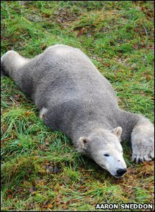 Polar bear Walker resting on the grass and settling into new home in Highland Wildlife Park in Scotland.