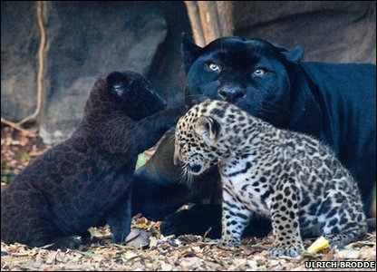 Baby jaguars having a play fight!