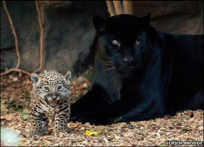 Spotty jaguar cub playing with mum.