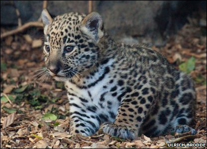 Spotty jaguar cub.