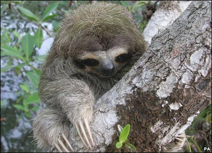 New Evolutionarily Distinct and Globally Endangered (EDGE) mammals - pygmy sloth