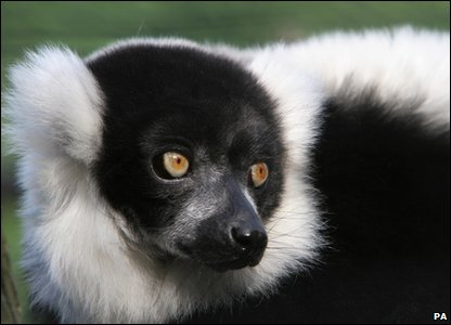 New Evolutionarily Distinct and Globally Endangered (EDGE) mammals - black and white ruffed lemur