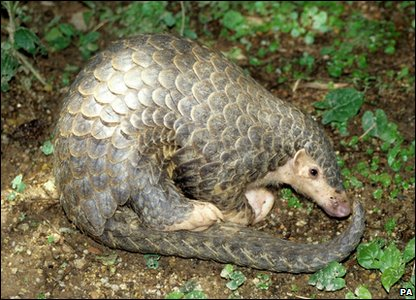 Image of: Rare New Evolutionarily Distinct And Globally Endangered edge Mammals Chinese Pangolin Bbc News Cbbc Newsround In Pics Weird Looking Endangered Animals