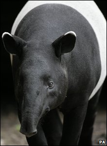 New Evolutionarily Distinct and Globally Endangered (EDGE) mammals - Malayan tapir