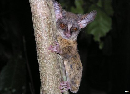 New Evolutionarily Distinct and Globally Endangered (EDGE) mammals - rondo dwarf galago