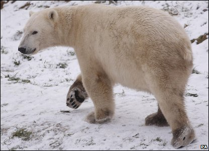 Walker the polar bear enjoying the snow in Scotland