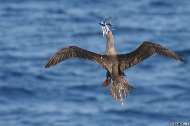 Bbc earth news how flying fish got their 39 wings 39 for Wings fish