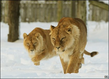 Lionesses walking in the snow