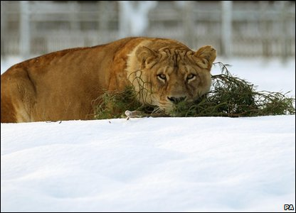 Lioness in the snow