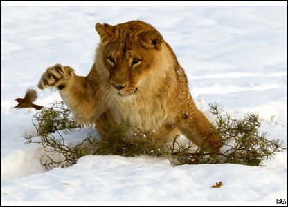 Lioness looking at a robin in the snow