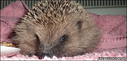 Rescued hedgehog at East Sussex Wildlife Rescue and Ambulance Service, where founder Trevor Weeks is spending his nights so he can look after the animals during the cold weather