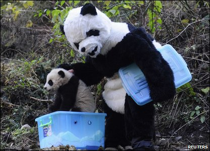 A scientist dressed up as panda carries the panda cub