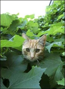 Photo by Laura Guariglia of a cat hiding in some plant leaves.