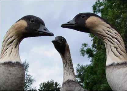Photograph of three geese by 10-year-old Myles Worthington.
