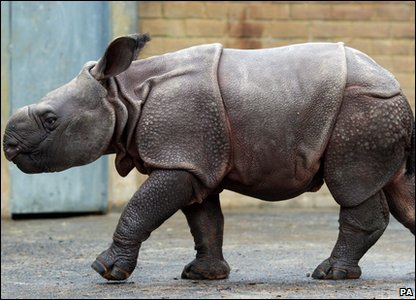 Baby Asian rhino Karamat at Whipsnade zoo in Bedfordshire.