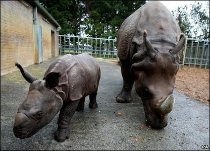 Baby Asian rhino Karamat and mother Beluki at Whipsnade zoo in Bedfordshire.