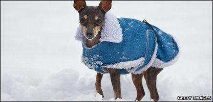 Dog keeping warm in the snow with a coat.
