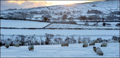 Sheep brave the snow in Northern Ireland