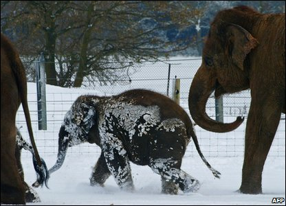 Elephant playing in the snow at a zoo in Bedfordshire.