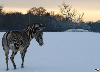Zebra playing in the snow at a zoo in Bedfordshire.