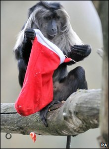 Macaque takes a peak inside his Christmas stocking at Bristol Zoo.