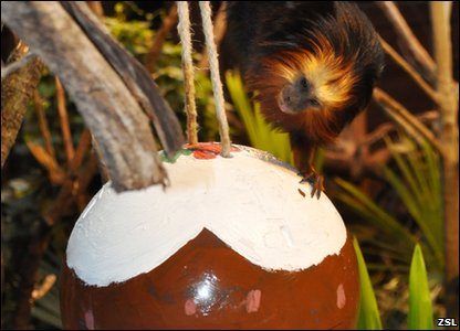 A golden headed tamarin with a Christmas pudding toy.