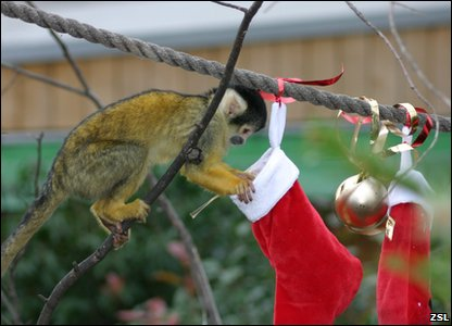 Monkey enjoy Christmas stockings at London Zoo.