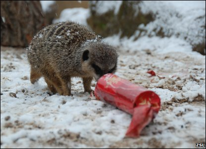 Meerkat enjoying a Christmas cracker at  London Zoo