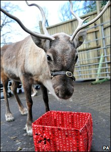 Reindeer enjoying food in a Christmas box at Bristol Zoo