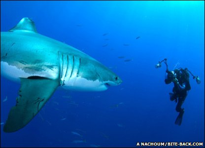 Great White Shark in Guadalupe