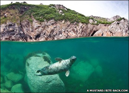 A picture of a grey seal taken off the coast of the UK