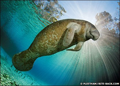 Manatee off the coast of the USA