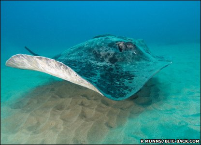 Marbled Ray in South Africa