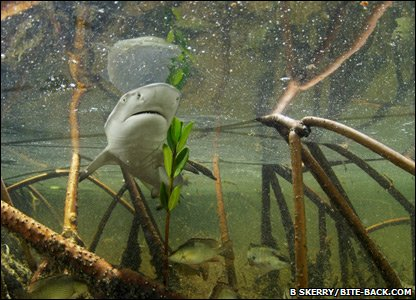 Baby lemon shark in the Bahamas