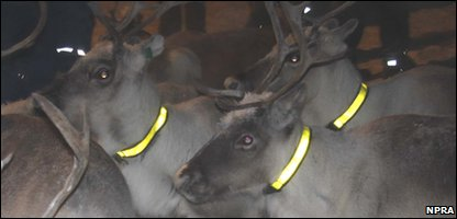 Reindeers in Norway wearing reflective collars to keep them safe on the roads.