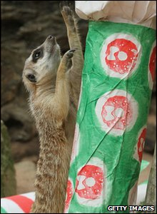 Meerkat enjoys a Christmas cracker in Taronga zoo in Australia.